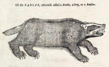 Inoli, badger