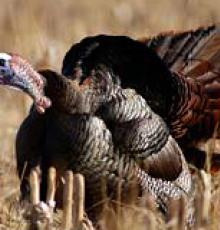 Eastern wild turkey from the National Wild Turkey Federation
