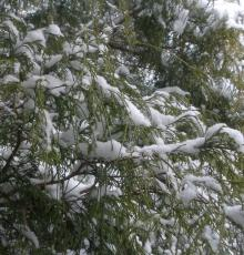 Snow on cedar tree, photo by Barbara Duncan