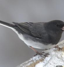 The Appalachian junco also called the snowbird, for which this Cherokee Community is named: Tutiyi.  Photo by Christopher L. Wood.